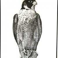 Peregrine Falcon,