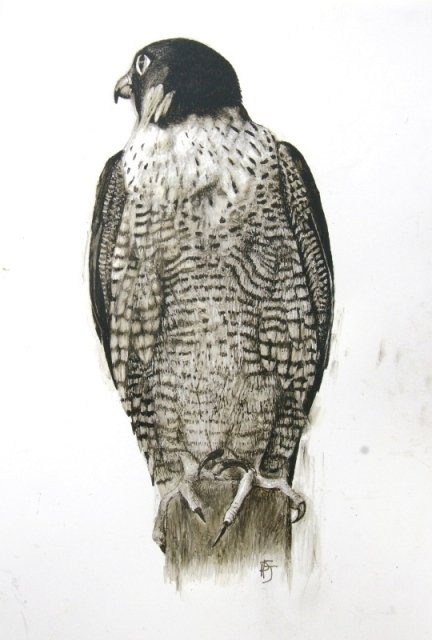 Charcoal-ink-Peregrine