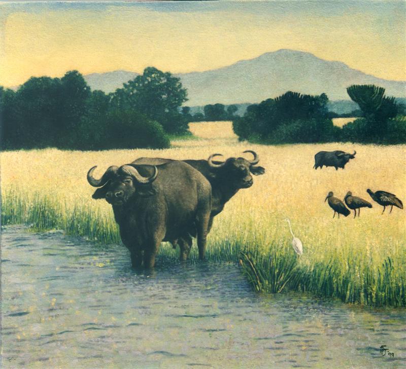 Water Buffalo at Queen Elizabeth Park
